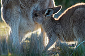 Macropus giganteus - Eastern Grey Kangaroo in Tasmania in Australia, Maria Island, Tasmania, standing with the breast feeding youngster on the meadow. Detail