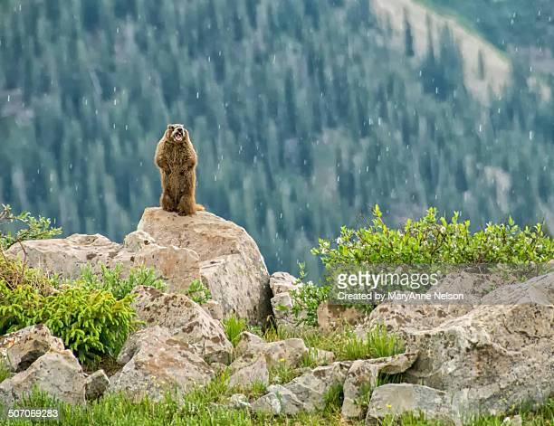 Mad Marmot