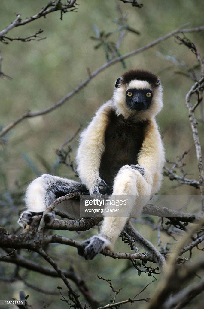 Madagascar Berenty Verreaux Sifaka Lemur In Tree