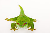 Madagascar day gecko against white background.