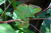 A Parson's chameleon (Calumma parsonii) perched on a branch in the Mantadia National Park in Madagascar.