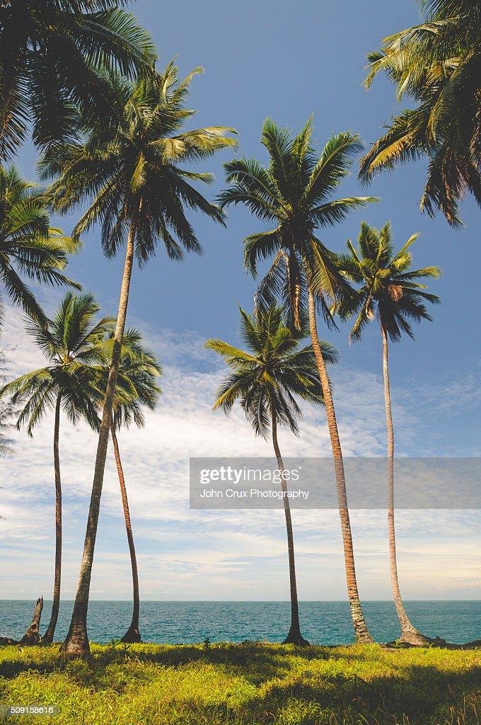 Madang palms