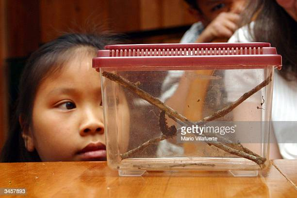 Maddie McLean a home schooling student curiously observes a caterpillar caught by her mother Lisa for a science lesson at her farm home April 22 2004...