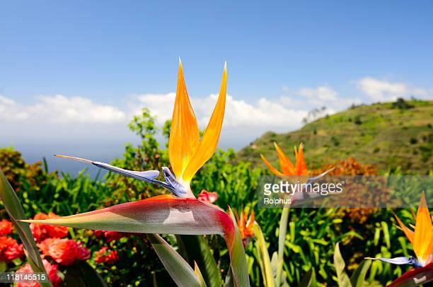 Madeira Bird of Paradise Flower in Prazeres Spring