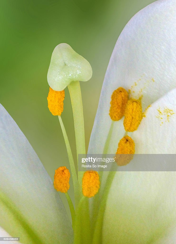 Madonna Lily's Heart