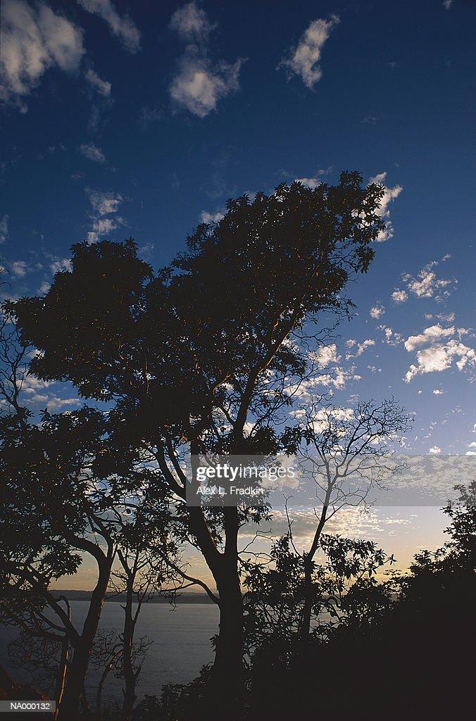 Madrone tree (Arbutus menziesii) growing near water, silhouette : Stock Photo