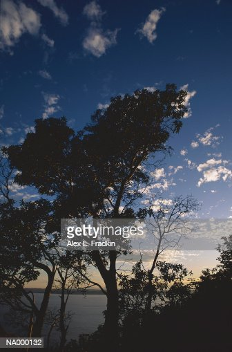 Madrone tree (Arbutus menziesii) growing near water, silhouette : Bildbanksbilder