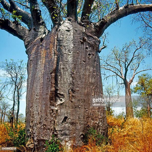 Maechtige wasserspeichende Baobabs wachsen in den Trockengebieten Nordwestaustraliens