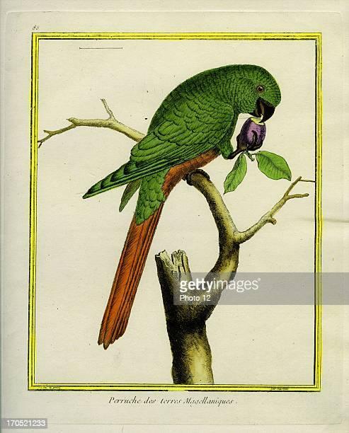 Magellanic Parakeet Psittacula magellanicusMagellanic ParakeetGeorgesLouis Leclerc Comte of Buffon 'Natural History of birds fish insects and...