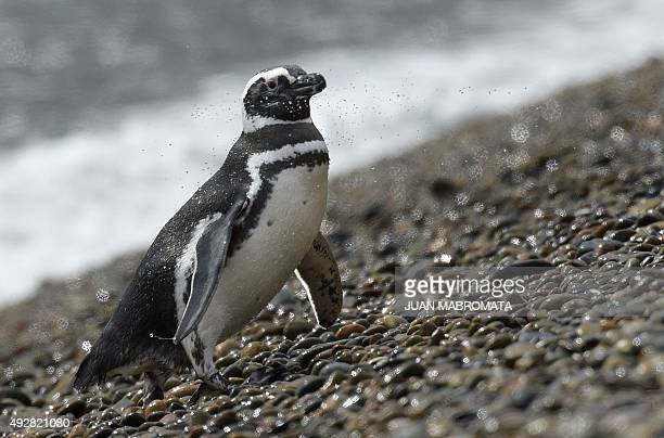 A Magellanic penguin arrives to shore at El Pedral penguin colony near Punta Ninfas some 75 Km east of Puerto Madryn in the Patagonian province of...