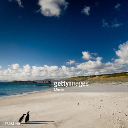 Magellanic Penguin Couple Falkland Islands