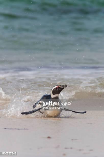 Magellanic penguin in surf