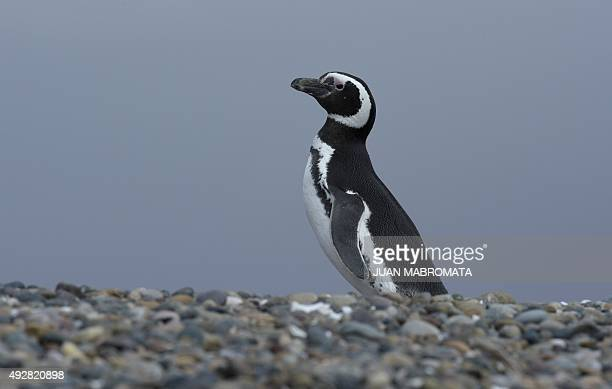 A Magellanic penguin is seen at El Pedral penguin colony near Punta Ninfas some 75 Km east of Puerto Madryn in the Patagonian province of Chubut...
