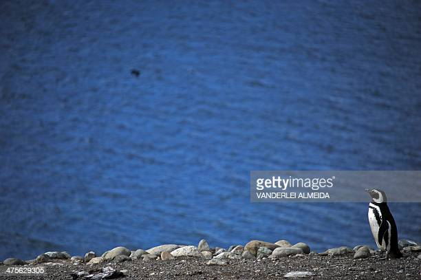 A Magellanic penguin is seen in Magdalena Island 50 km from Punta Arenas Chile on February 28 2014 This penguin species is being threatened by...