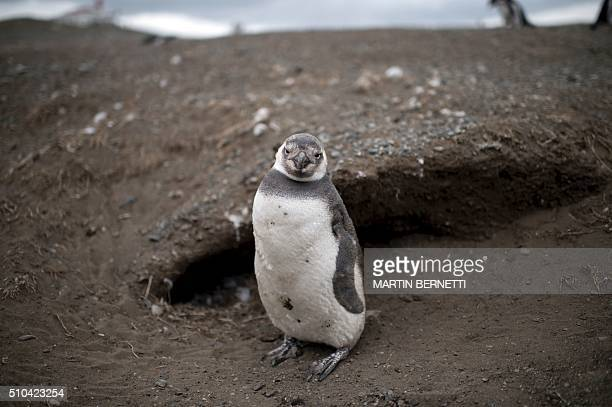 A Magellanic penguin is seen in Magdalena Island located in the Strait of Magellan near Chile's southern tip where tens of thousands of penguins come...