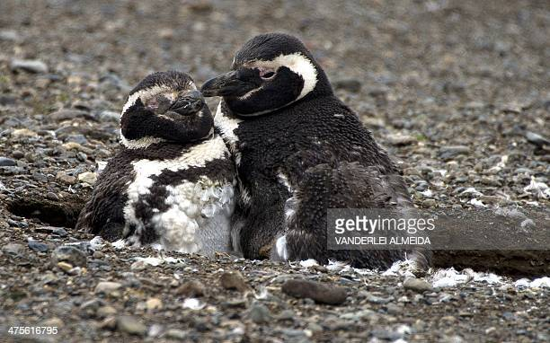 Magellanic penguins are seen in Magdalena Island 50 km from Punta Arenas Chile on February 28 2014 This penguin species is being threatened by...