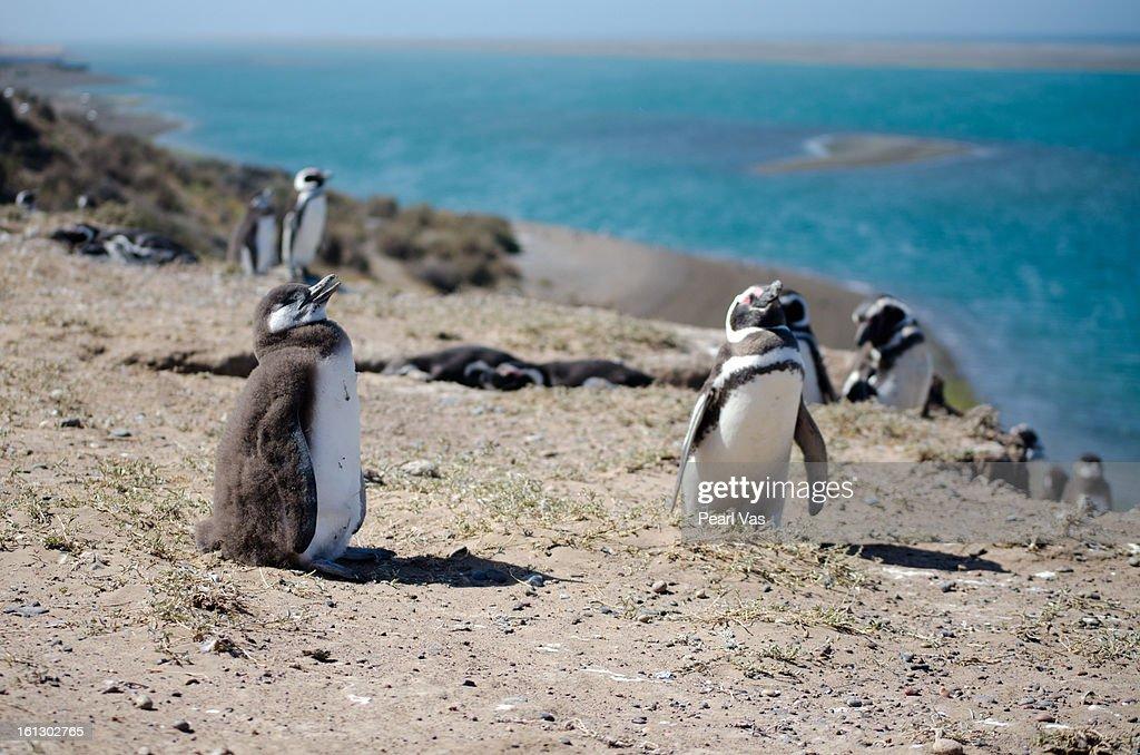 Magellanic penguins in front of Atlantic Ocean : Stock Photo