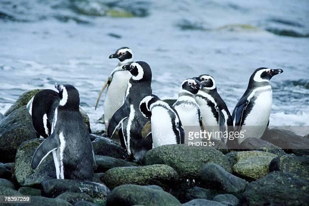 Magellanic penguins on rocks
