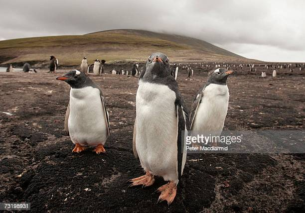 Magellanic penguins stand together on February 3 2007 on Saunders Island Falkland Islands