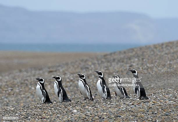 Magellanic penguins walk in single file at El Pedral penguin colony near Punta Ninfas some 75 Km east of Puerto Madryn in the Patagonian province of...