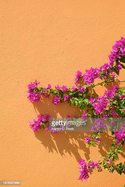 Magenta Bougainvillea Grows Against Orange Stucco Wall