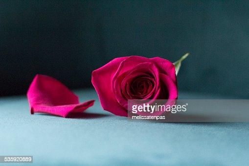 Magenta Rose on Teal Velvet : Stock Photo