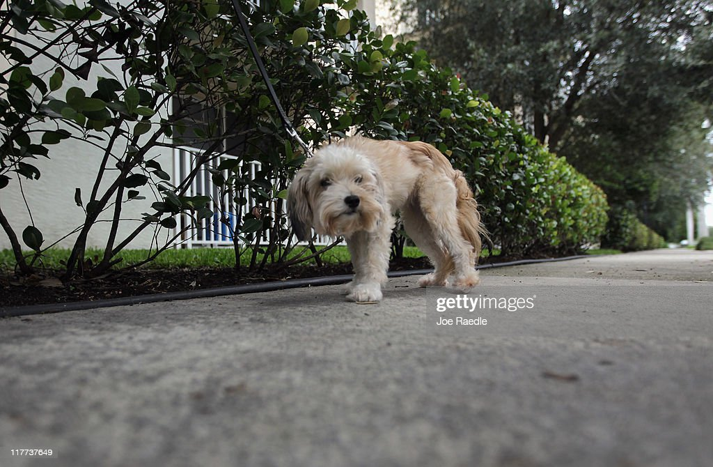 Maggie is taken for a walk in The Village of Abacoa condominium complex where the condo association will begin testing dog feces to match its DNA to the dogs whose owners who are not picking up after their pets on June 30, 2011 in Jupiter, Florida. Beginning August 1, 2011 dog owners who live in the condos must pay a $200 one-time fee for a DNA swab to be taken from their dog's mouth to be held on file. If a dog's feces are found, a sample is sent to the DNA Pet World Registry to determine the dog's DNA and they match that with the one on file to determine who the owner is and than a fine will be issued for not picking up after their pet.