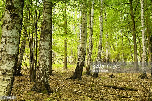 magical bright birch forest