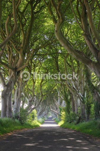 Magical woods of Dark Hedges : Stock Photo