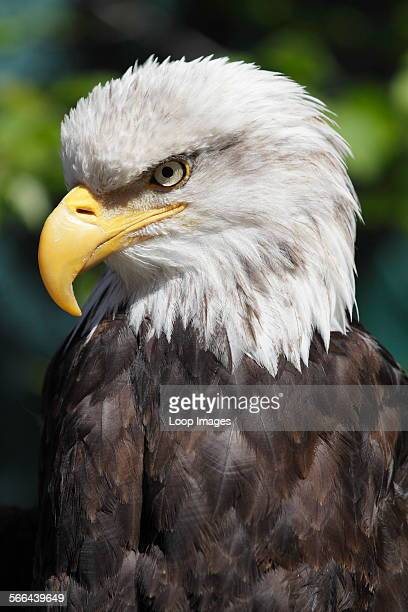 A magnificent bald eagle in Ketchikan in Alaska