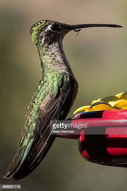 Magnificent Hummingbird and bee