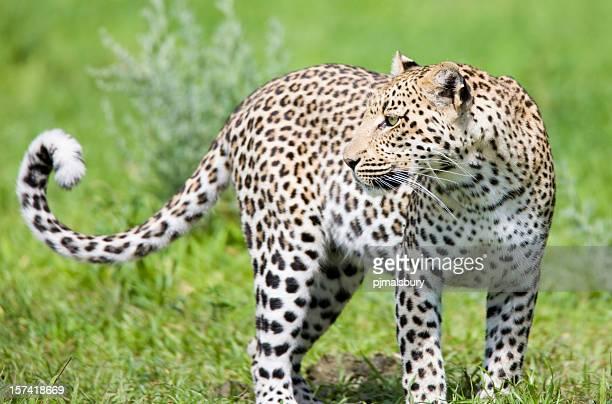 Magnifique léopard