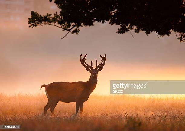 Magnificent Stag