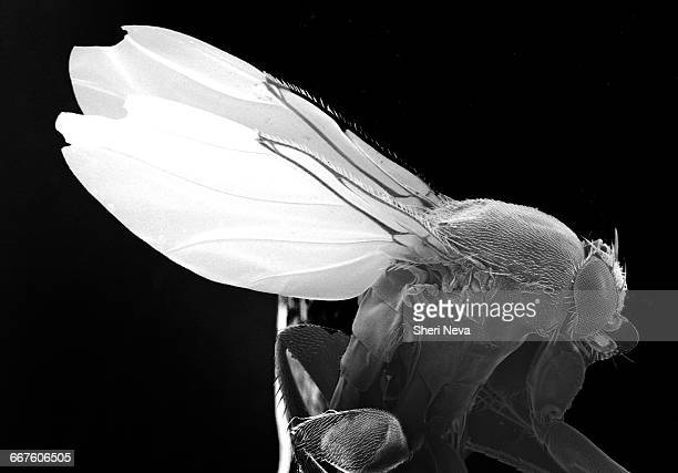 Magnified fruit fly