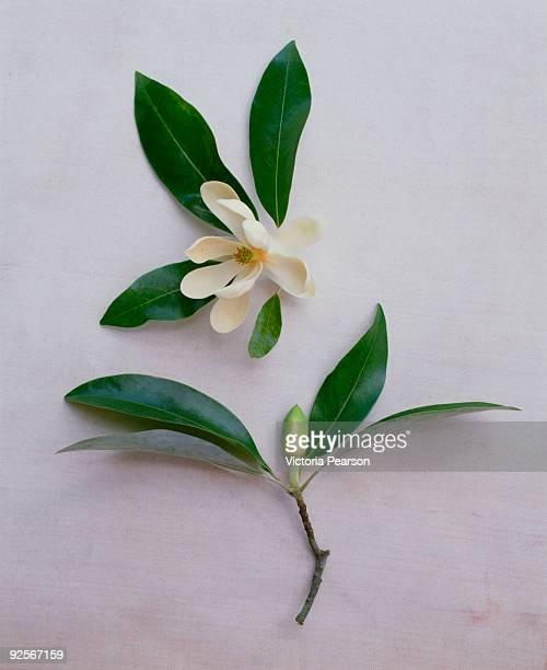 Magnolia bloom and bud