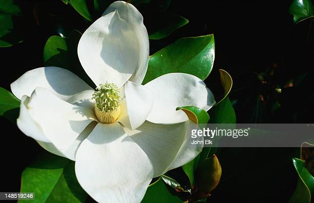 Magnolia bloom, Tulsa Garden Center.