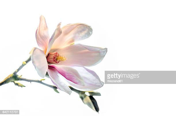 Magnolia blossom in front of white background