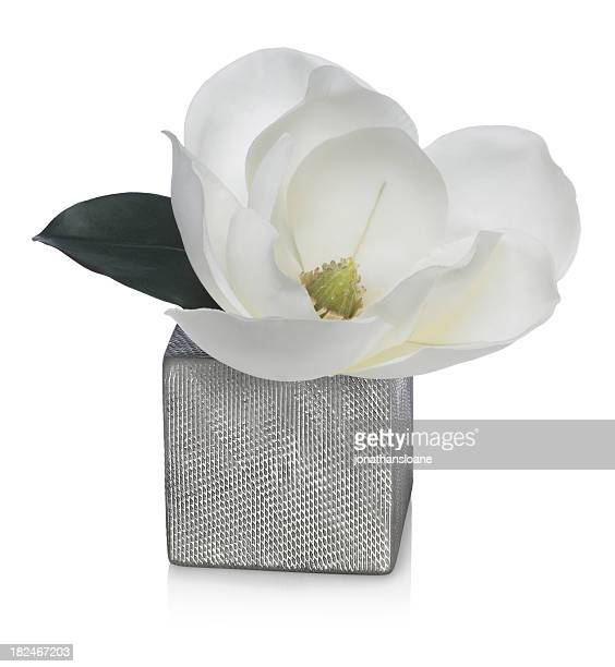 Magnolia Blossom in Silver Vase  on a white background