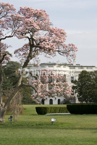 Magnolia Blossom Tree In Front Of White House Stock Photo Thinkstock
