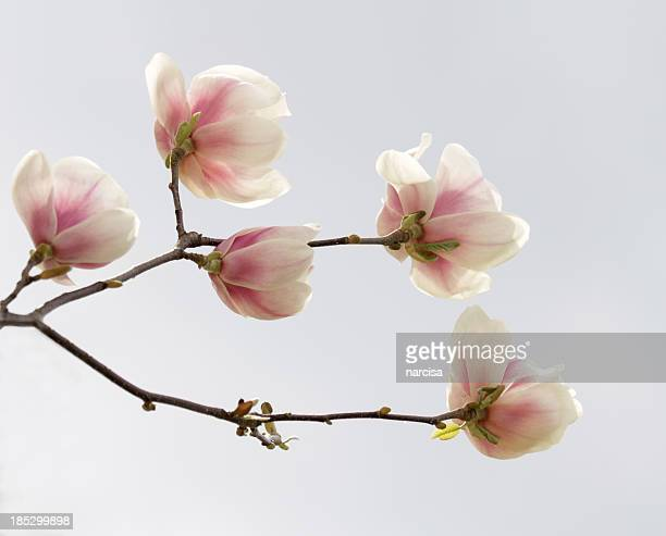 Magnolia branch in spring