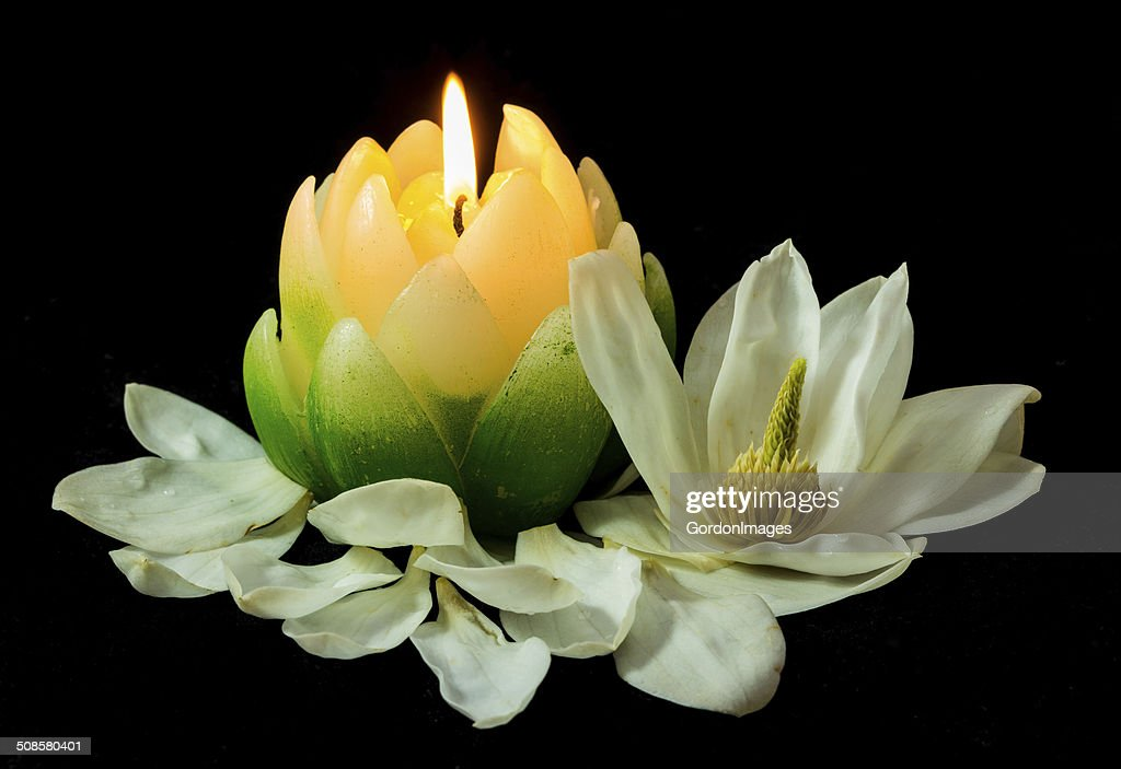 Magnolia Candlelight : Stock Photo