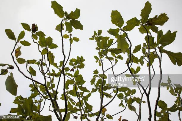 Magnolia dealbata grows at Wakehurst 30 years after The Great Storm devastated much of the botanic garden's landscape on October 14 2017 in Haywards...