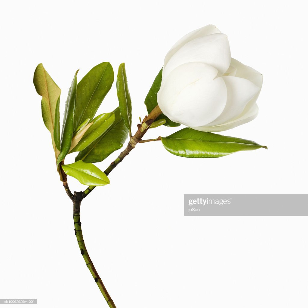 Magnolia flower and leaves on white background, close-up : Foto de stock