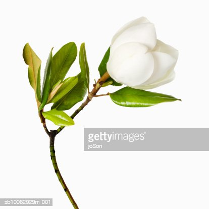 Magnolia flower and leaves on white background, close-up : Stock Photo
