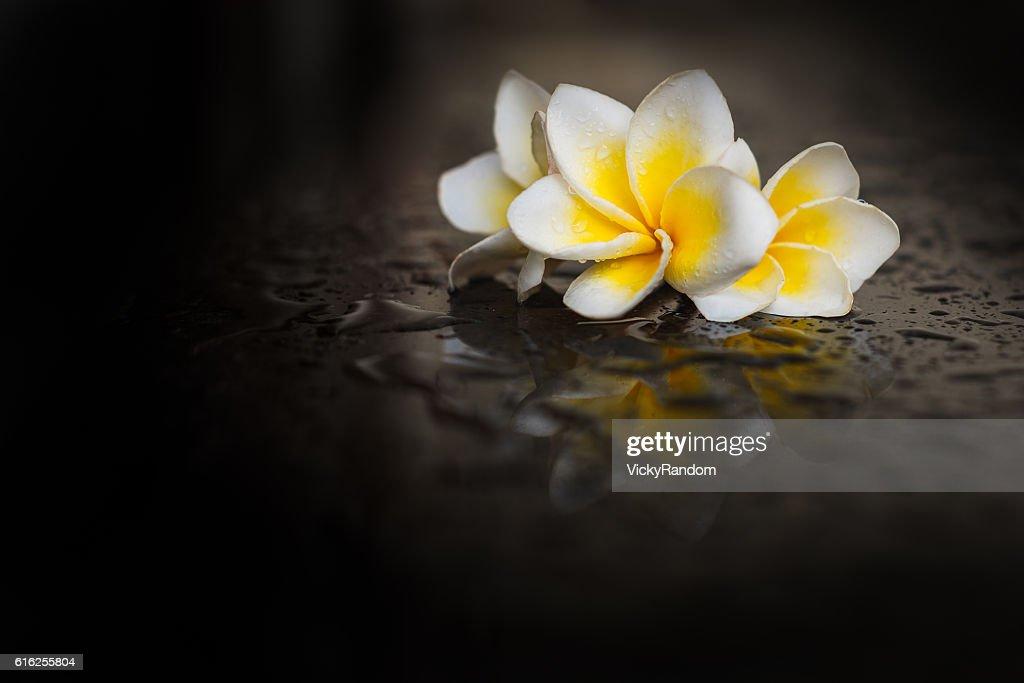 Magnolia flower on wet black background : Foto de stock