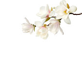 Magnolia flower isolated on white  background.