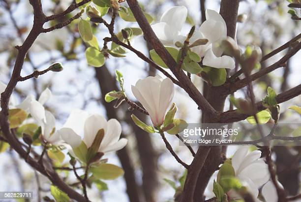 Magnolia Flowers Blooming Outdoors