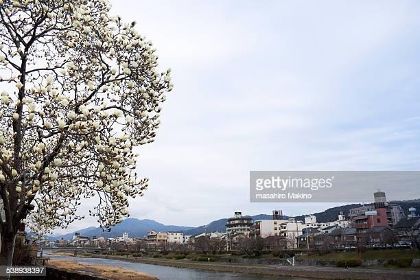 Magnolia Heptapeta over Kamo River