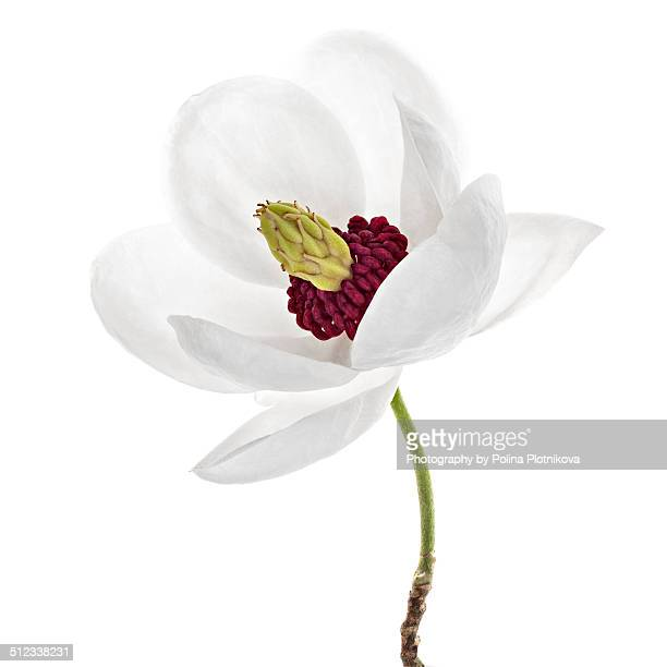 Magnolia sellowiana flower on white background