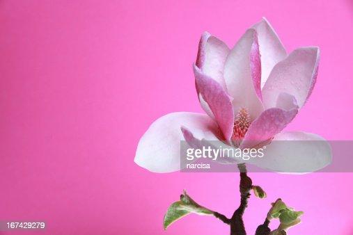 Magnólia soulangeana sobre Fundo rosa : Foto de stock